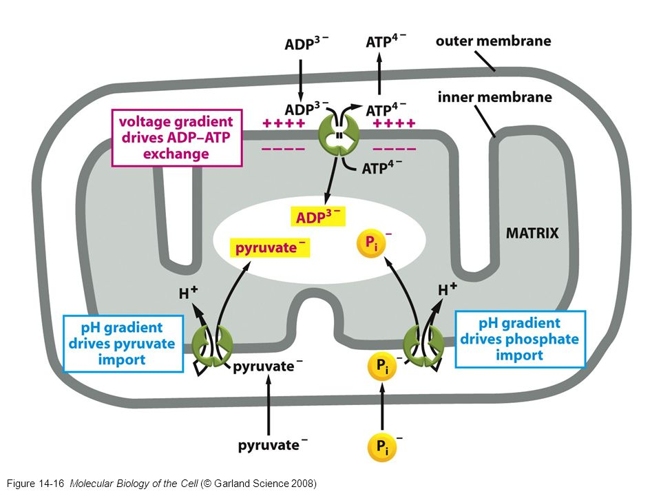 Figure 14-16 Molecular Biology of the Cell (© Garland Science 2008)