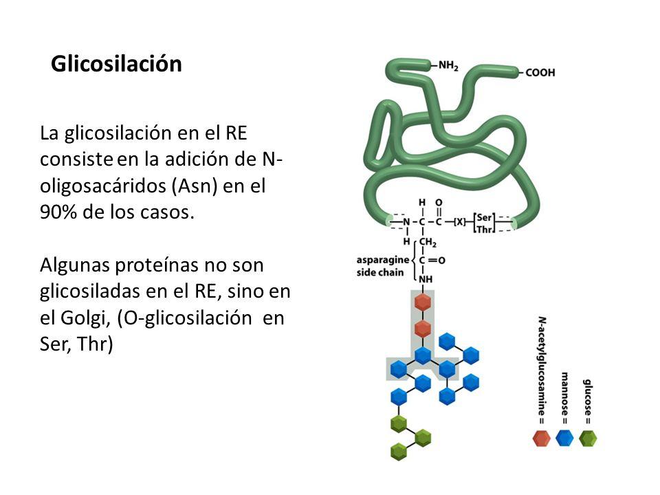 Glicosilación La glicosilación en el RE consiste en la adición de N-oligosacáridos (Asn) en el 90% de los casos.