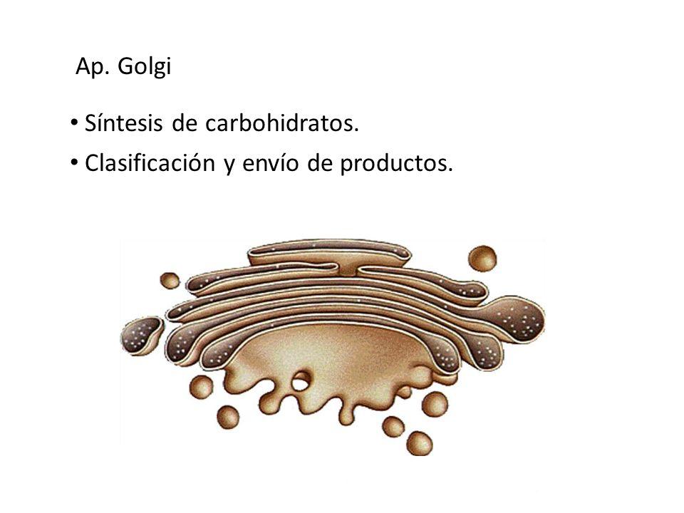Ap. Golgi Síntesis de carbohidratos. Clasificación y envío de productos.