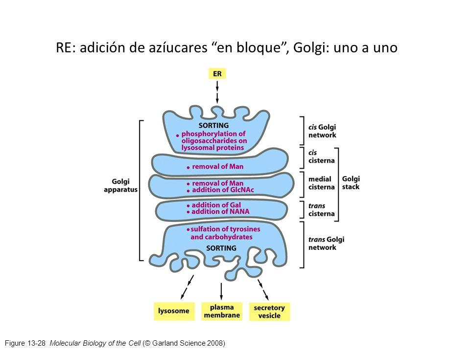 RE: adición de azíucares en bloque , Golgi: uno a uno