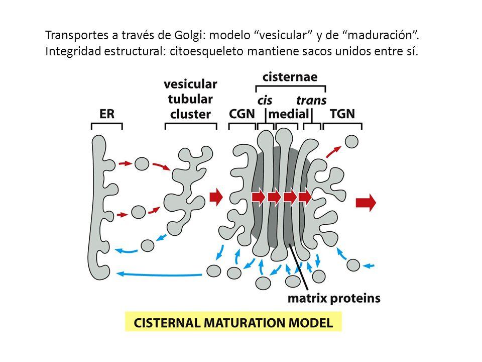 Transportes a través de Golgi: modelo vesicular y de maduración .