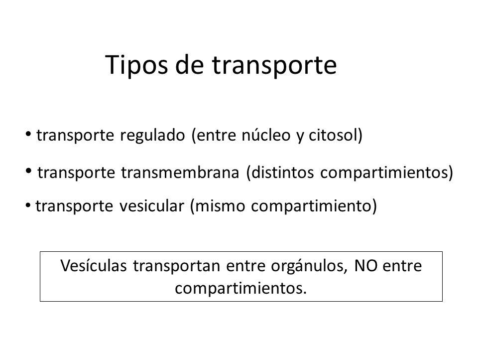 Vesículas transportan entre orgánulos, NO entre compartimientos.