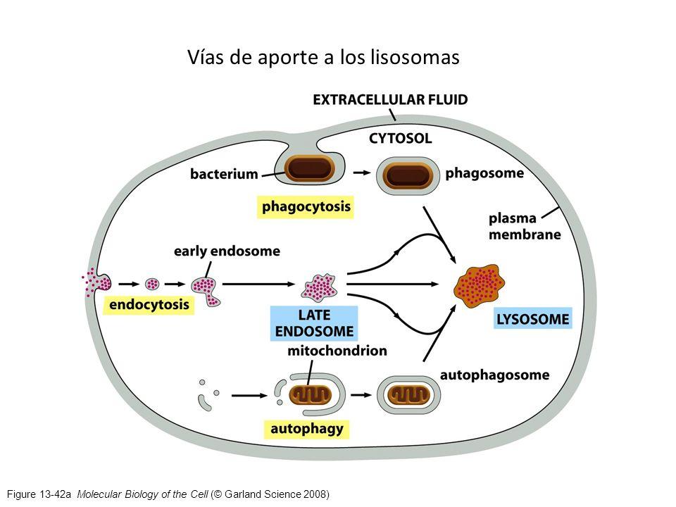 Vías de aporte a los lisosomas