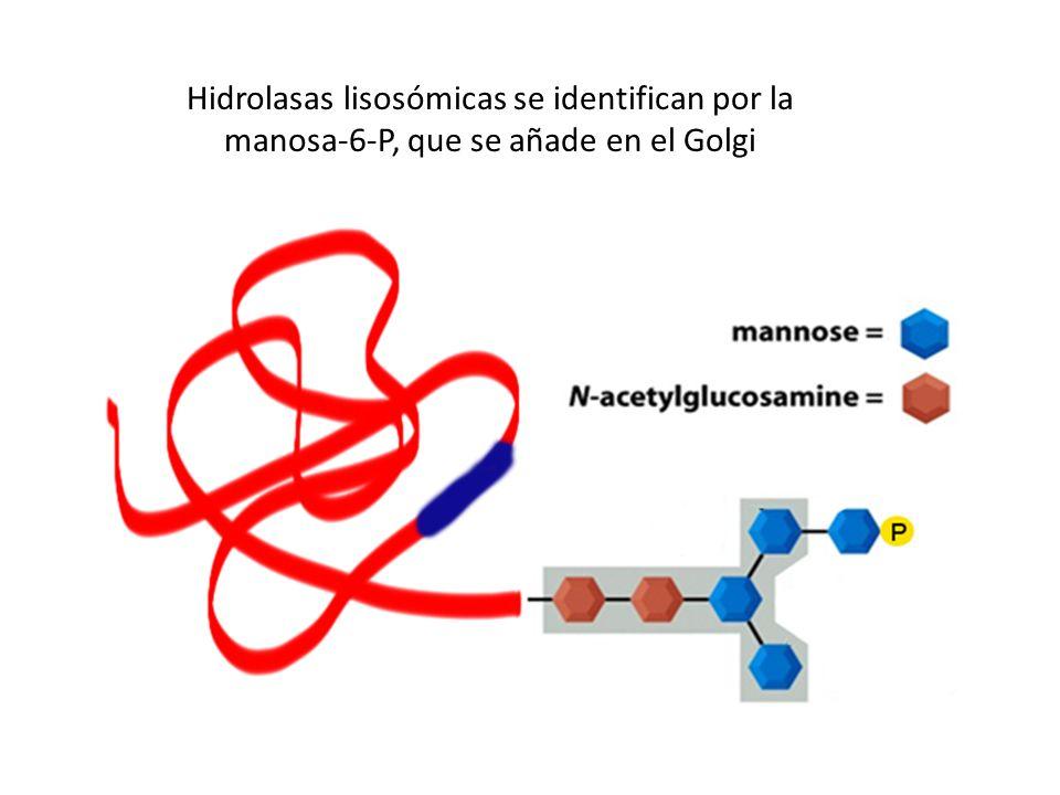 Hidrolasas lisosómicas se identifican por la manosa-6-P, que se añade en el Golgi