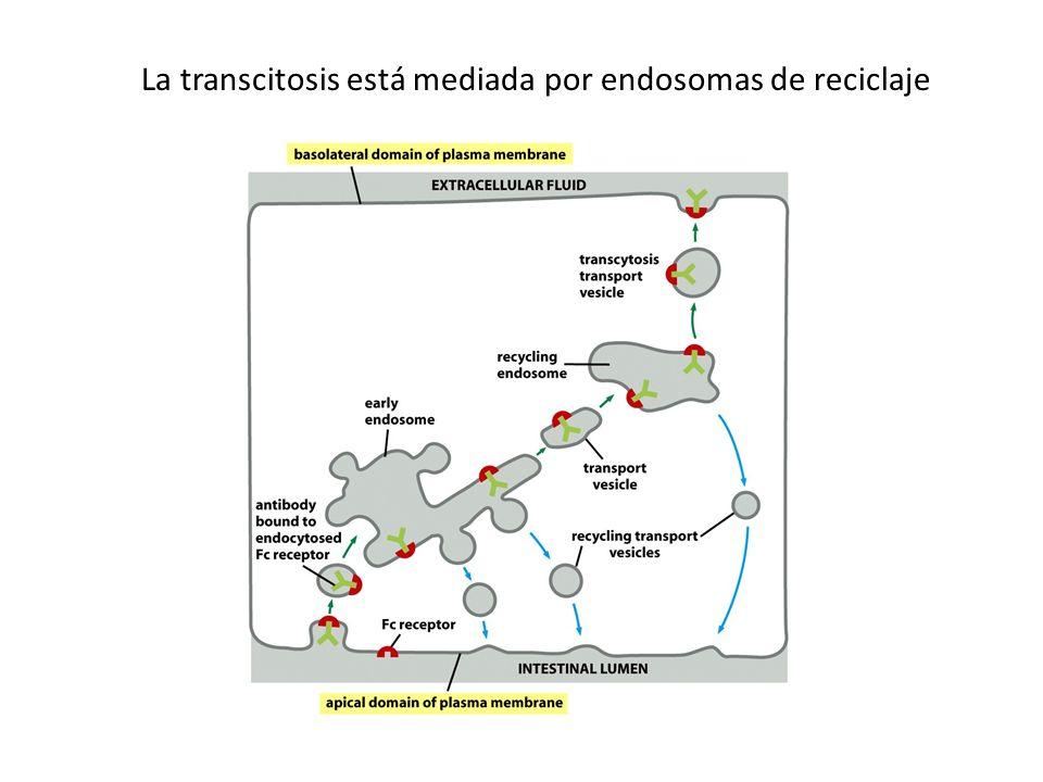 La transcitosis está mediada por endosomas de reciclaje