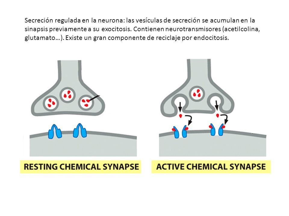 Secreción regulada en la neurona: las vesículas de secreción se acumulan en la sinapsis previamente a su exocitosis.