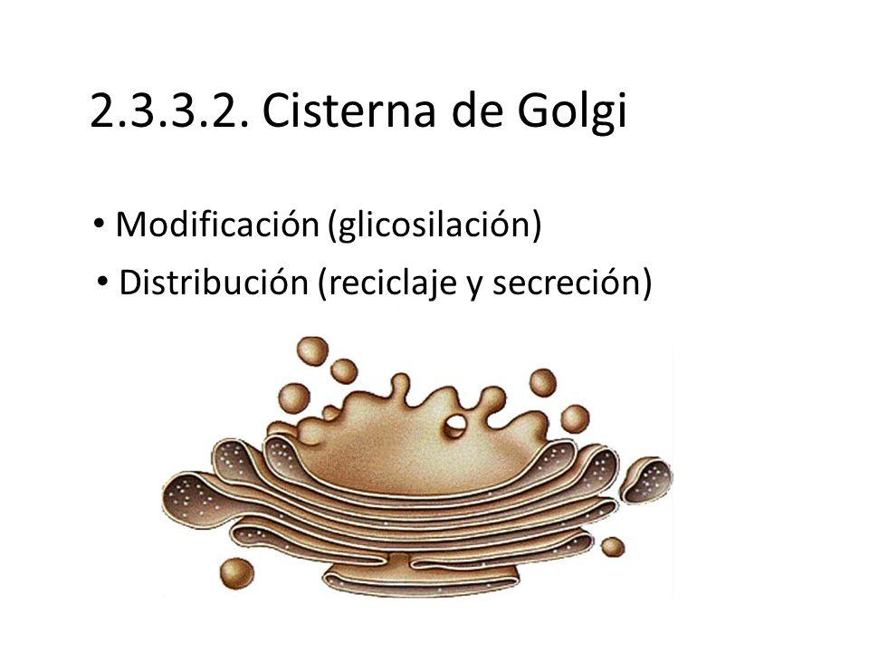 2.3.3.2. Cisterna de Golgi Modificación (glicosilación)