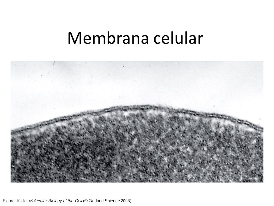 Membrana celular Figure 10-1a Molecular Biology of the Cell (© Garland Science 2008)