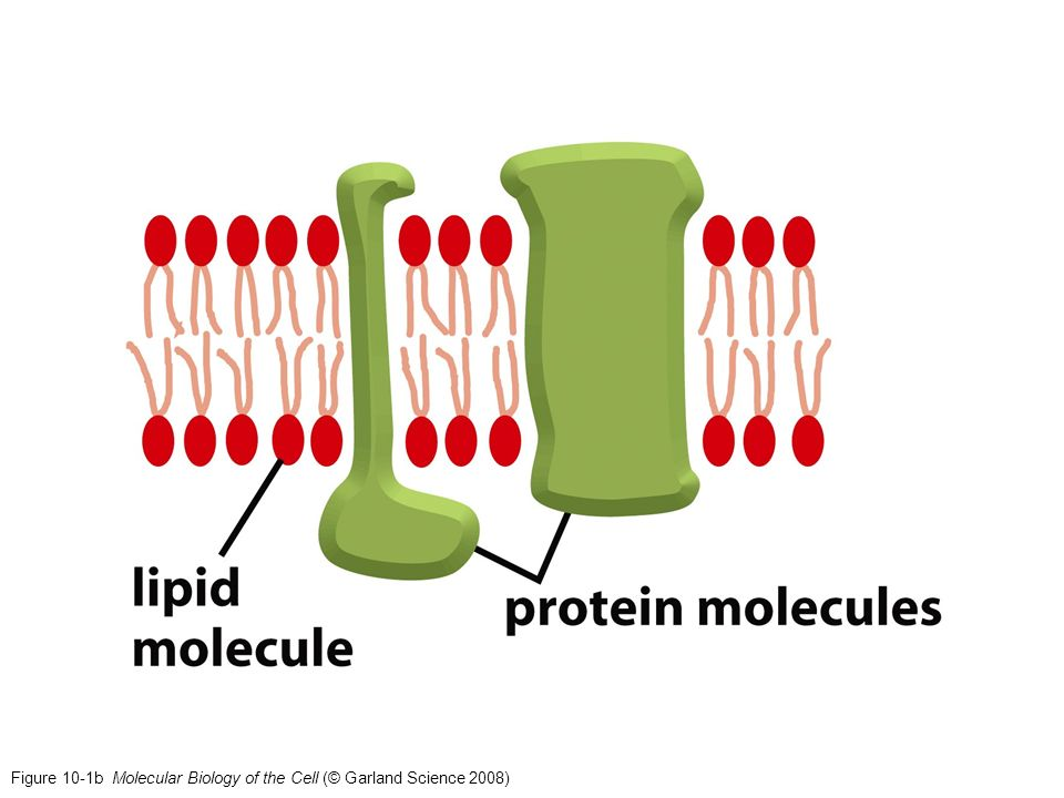 Figure 10-1b Molecular Biology of the Cell (© Garland Science 2008)