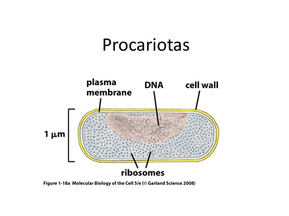 Procariotas 10-30x lineal, 1,000-10,000x vol