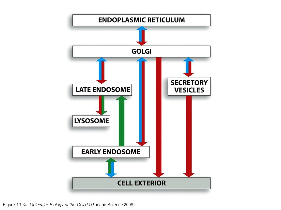Figure 13-3a Molecular Biology of the Cell (© Garland Science 2008)