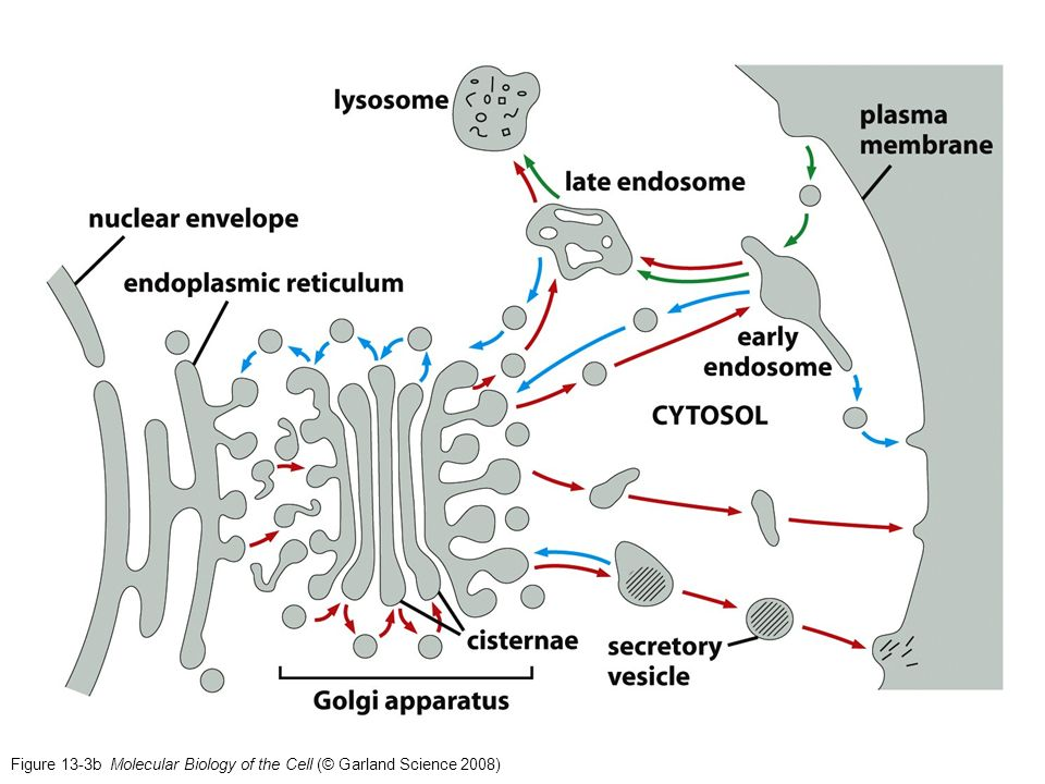 Figure 13-3b Molecular Biology of the Cell (© Garland Science 2008)