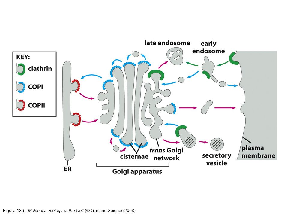 Figure 13-5 Molecular Biology of the Cell (© Garland Science 2008)