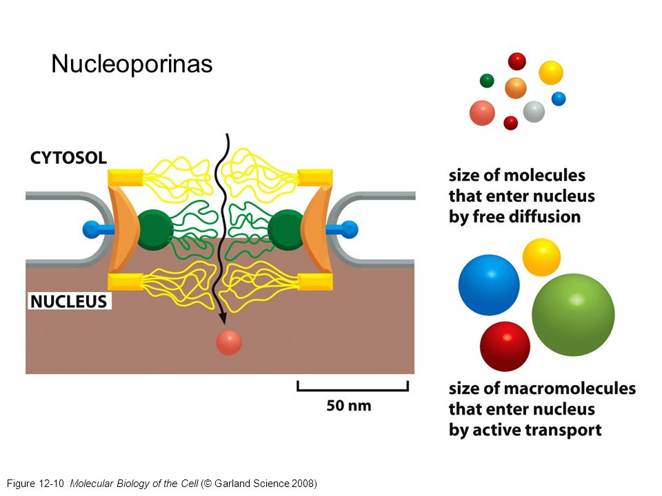 Nucleoporinas Figure 12-10 Molecular Biology of the Cell (© Garland Science 2008)