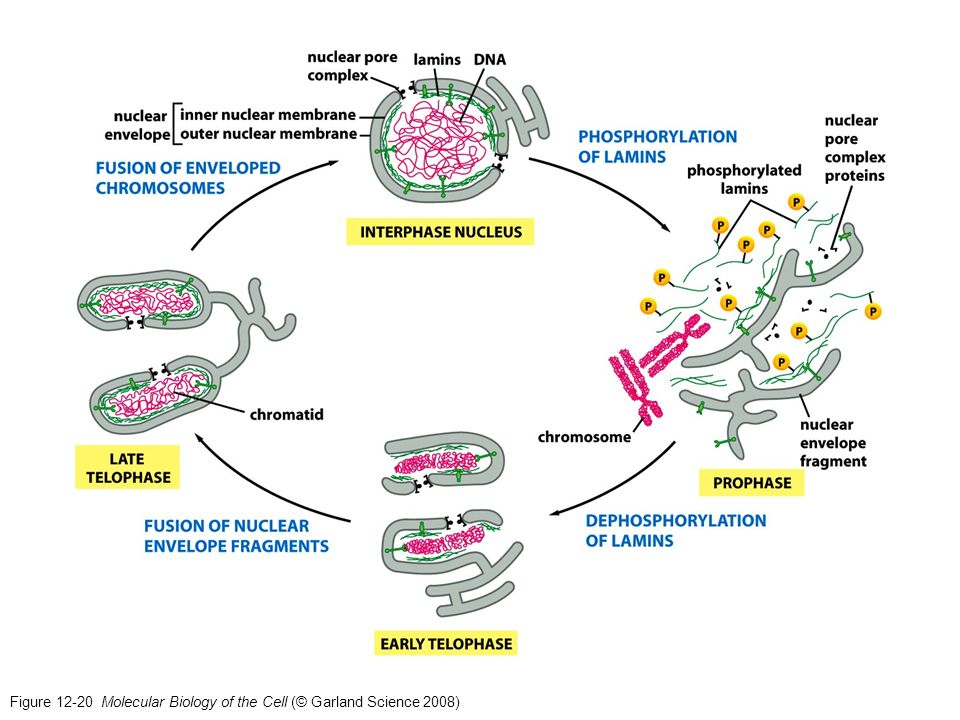 Figure 12-20 Molecular Biology of the Cell (© Garland Science 2008)