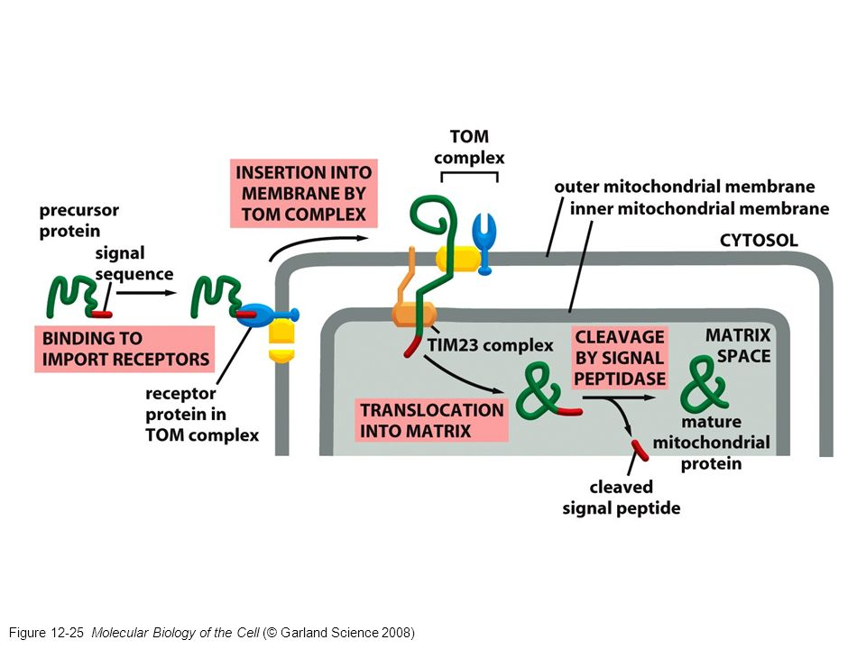 Figure 12-25 Molecular Biology of the Cell (© Garland Science 2008)