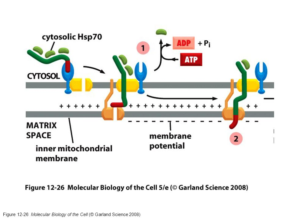 Figure 12-26 Molecular Biology of the Cell (© Garland Science 2008)