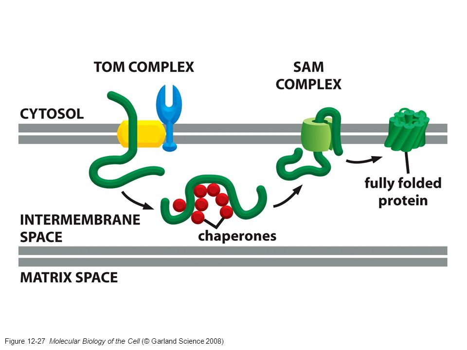Figure 12-27 Molecular Biology of the Cell (© Garland Science 2008)