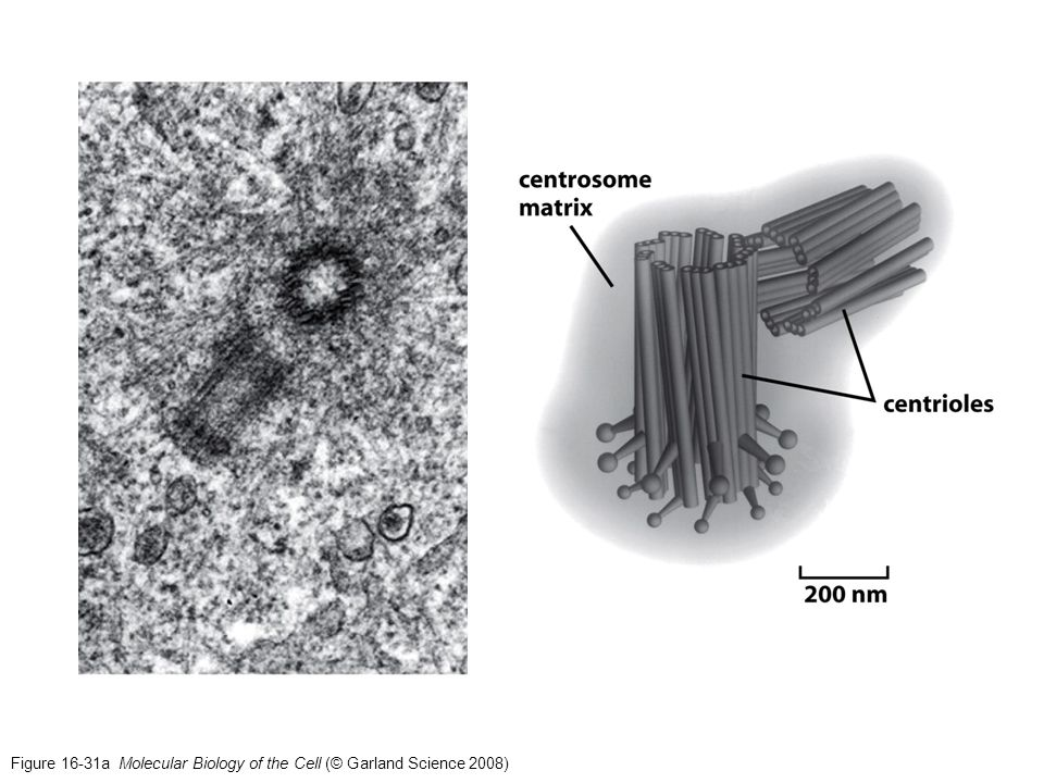 Figure 16-31a Molecular Biology of the Cell (© Garland Science 2008)