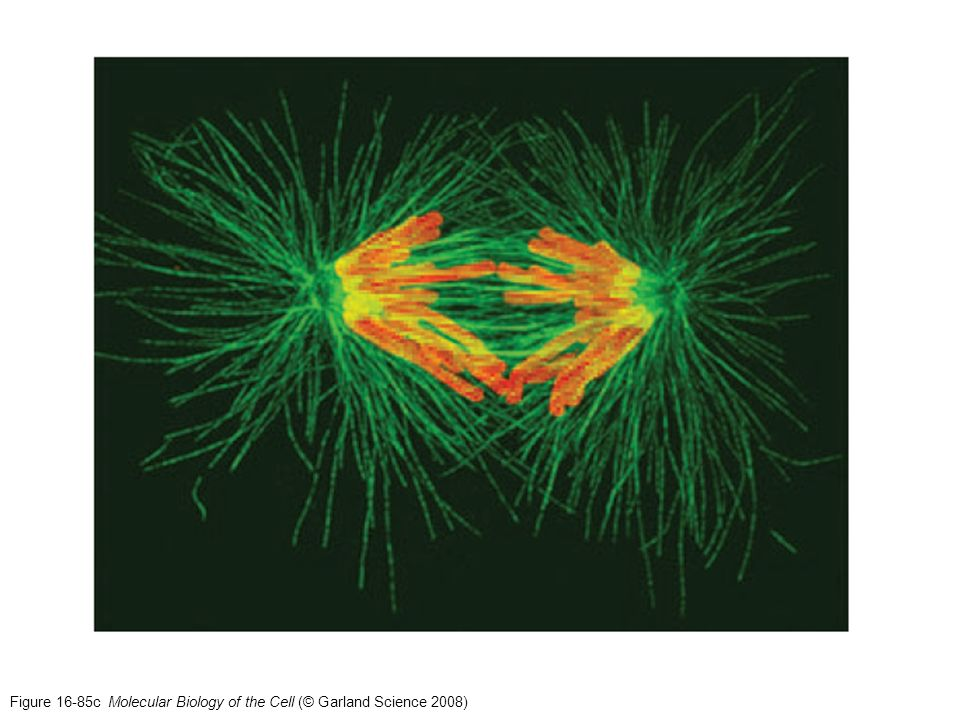 Figure 16-85c Molecular Biology of the Cell (© Garland Science 2008)