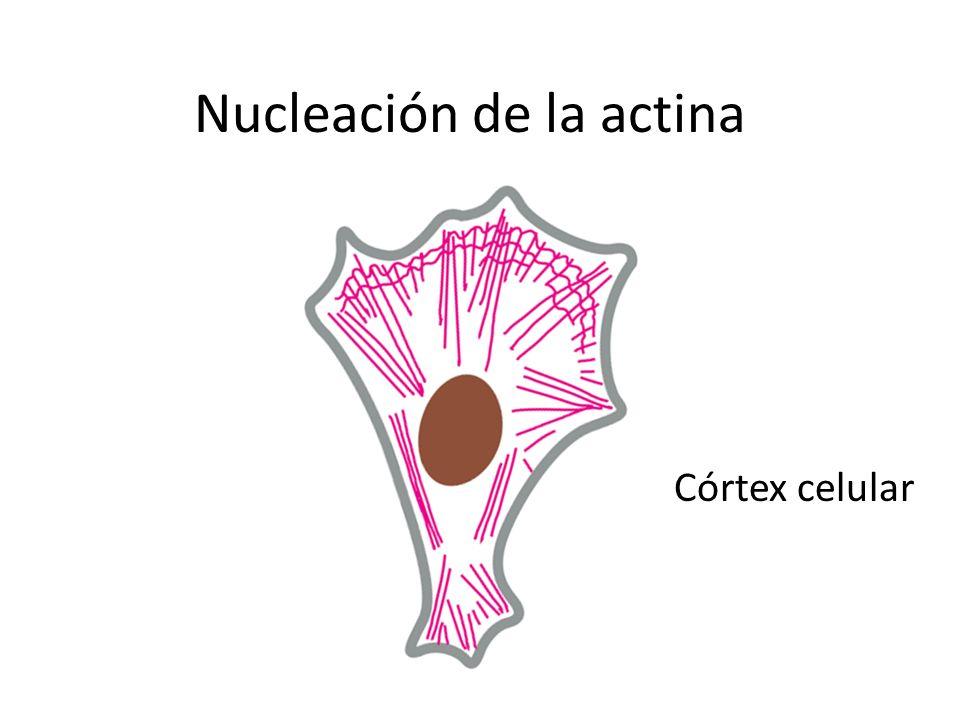 Nucleación de la actina