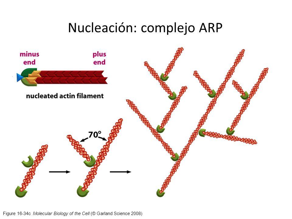 Nucleación: complejo ARP