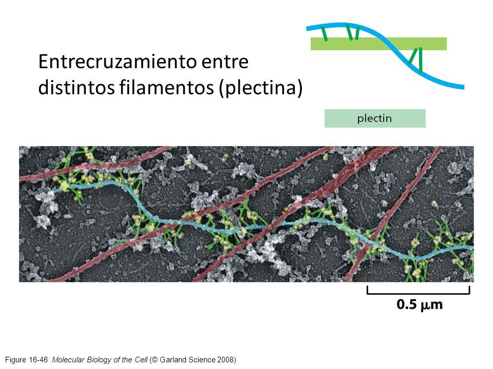 Entrecruzamiento entre distintos filamentos (plectina)