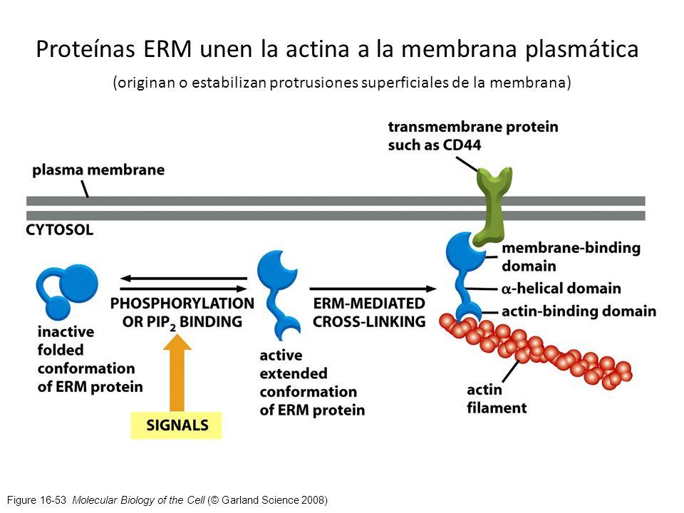 Proteínas ERM unen la actina a la membrana plasmática