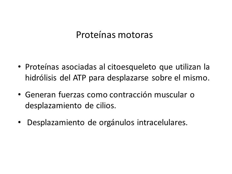 Proteínas motoras Proteínas asociadas al citoesqueleto que utilizan la hidrólisis del ATP para desplazarse sobre el mismo.