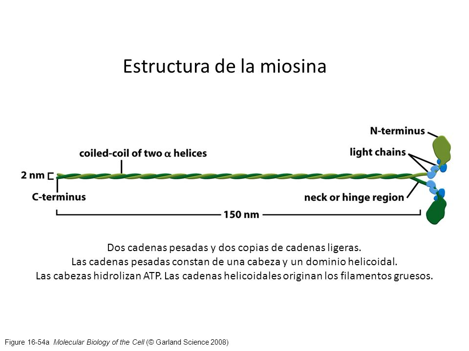 Estructura de la miosina