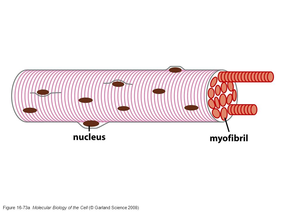 Figure 16-73a Molecular Biology of the Cell (© Garland Science 2008)