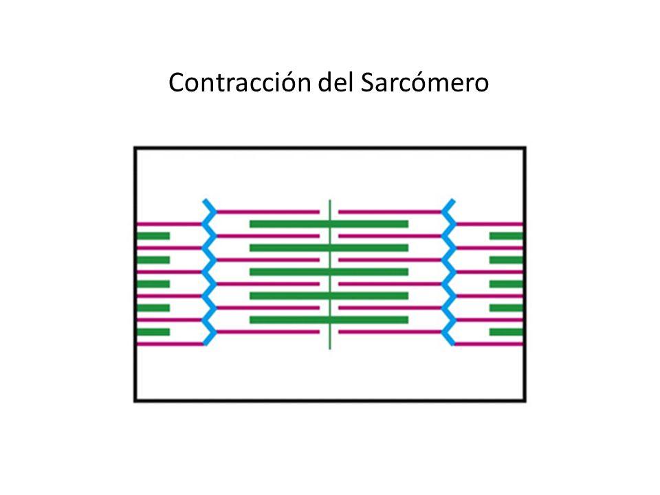 Contracción del Sarcómero