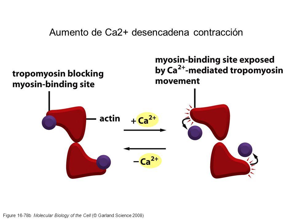 Aumento de Ca2+ desencadena contracción