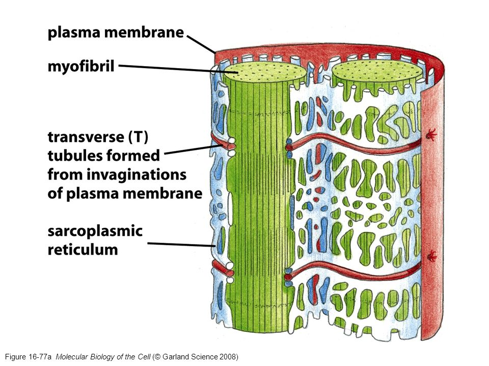 Figure 16-77a Molecular Biology of the Cell (© Garland Science 2008)