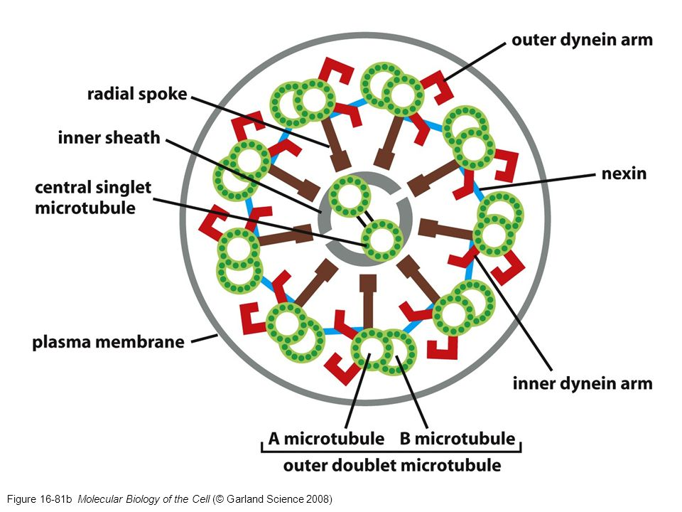 Figure 16-81b Molecular Biology of the Cell (© Garland Science 2008)