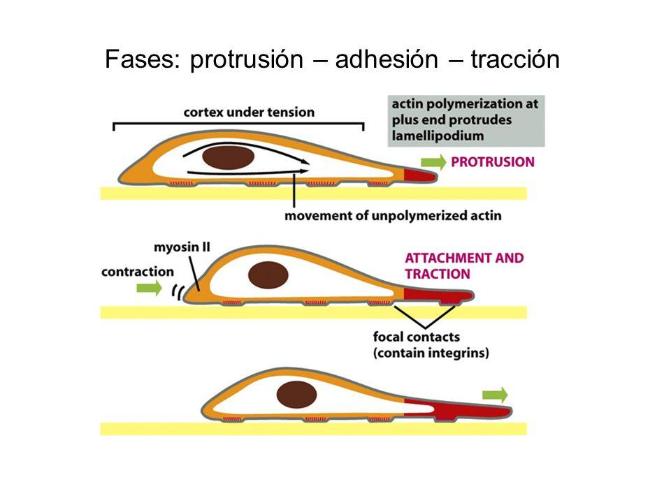 Fases: protrusión – adhesión – tracción