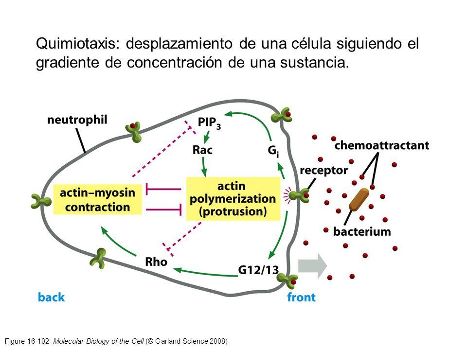 Quimiotaxis: desplazamiento de una célula siguiendo el gradiente de concentración de una sustancia.