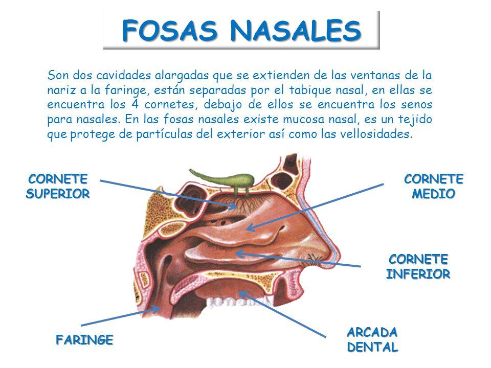Contemporáneo Qué Significa La Fosa En La Anatomía Galería ...