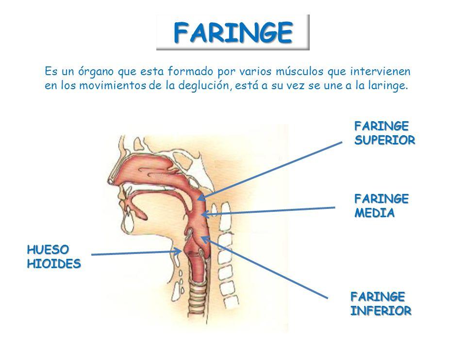 Perfecto Inferiores órganos Anatomía Back Imagen - Imágenes de ...