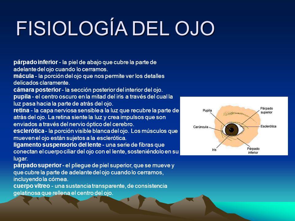 FISIOLOGÍA DEL OJO párpado inferior - la piel de abajo que cubre la parte de adelante del ojo cuando lo cerramos.