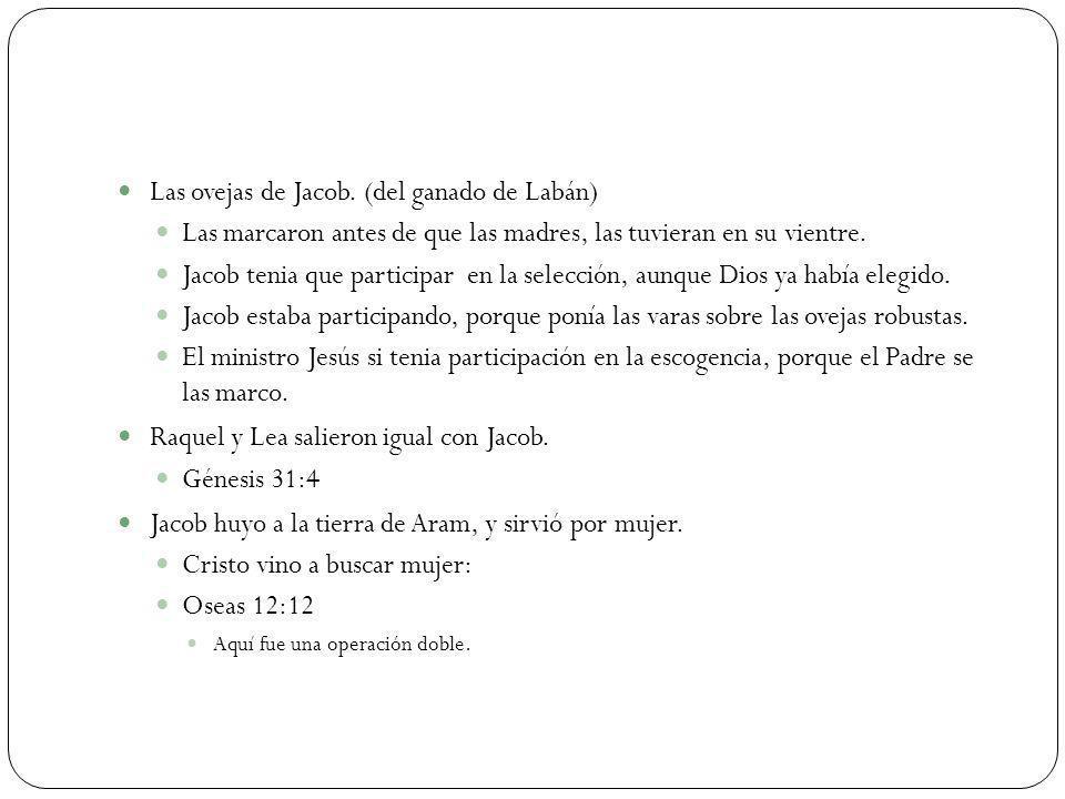 Las ovejas de Jacob. (del ganado de Labán)
