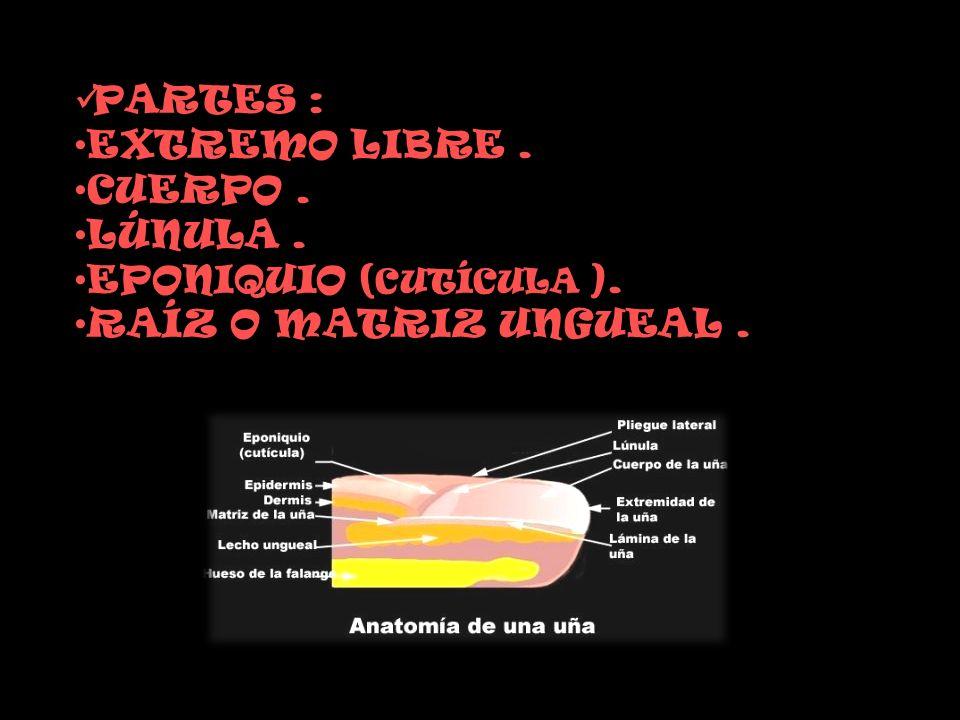 PARTES : EXTREMO LIBRE . CUERPO . LÚNULA . EPONIQUIO (CUTÍCULA ). RAÍZ O MATRIZ UNGUEAL .
