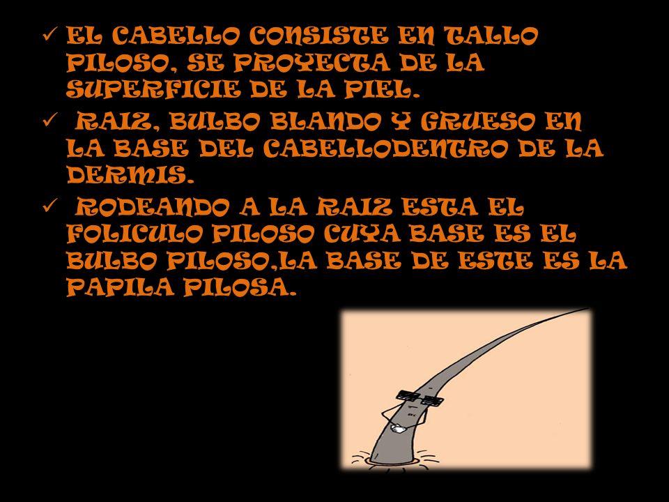 EL CABELLO CONSISTE EN TALLO PILOSO, SE PROYECTA DE LA SUPERFICIE DE LA PIEL.