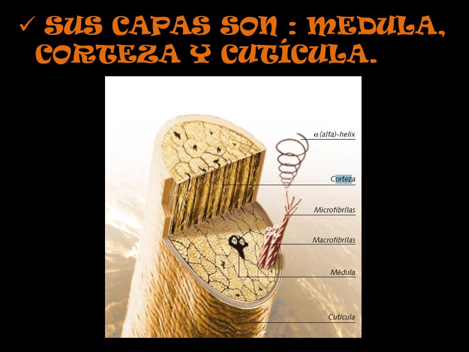 SUS CAPAS SON : MEDULA, CORTEZA Y CUTÍCULA.