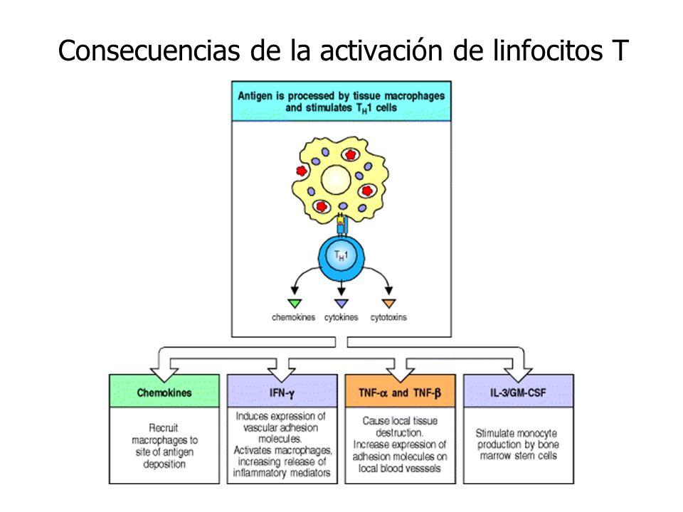 Consecuencias de la activación de linfocitos T