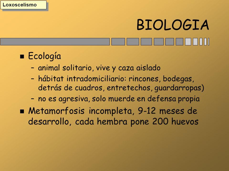 Loxoscelismo BIOLOGIA. Ecología. animal solitario, vive y caza aislado.