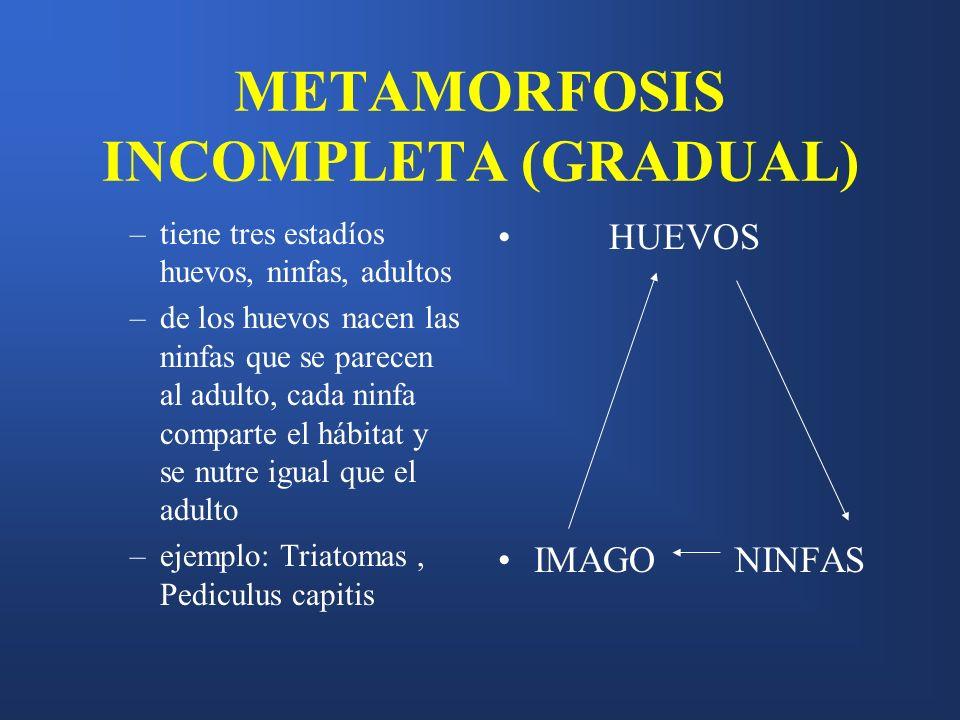 METAMORFOSIS INCOMPLETA (GRADUAL)