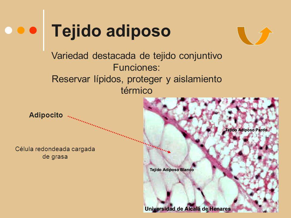 Tejido adiposo Variedad destacada de tejido conjuntivo Funciones: