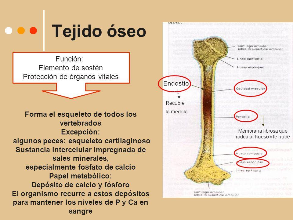 Tejido óseo Función: Elemento de sostén Protección de órganos vitales