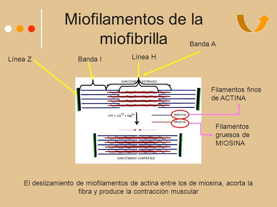 Miofilamentos de la miofibrilla